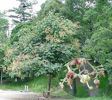 アオギリの画像 p1_23