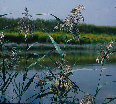ヨシ イネ科 心許なき日かず重るまゝに、白川の関にかゝりて旅心定りぬ。・... 奥の細道の植物