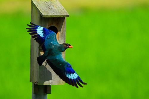 幻の青い鳥ブッポウソウ